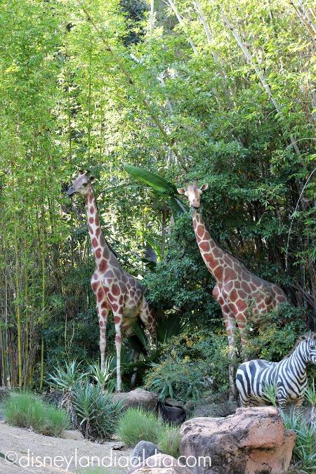 Jirafas en Jungle Cruise - Disneylandiaaldia.com
